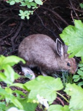 A fuzzy image of a snowshoe hare hiding in the brush during a heavy rain. My first sighting in the wild!