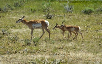 Mama pronghorn and her three babes