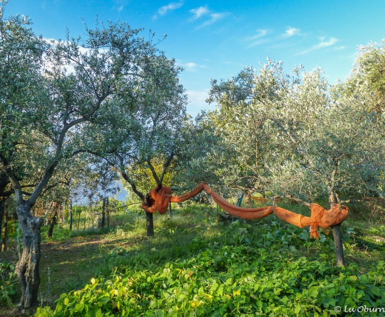 Nets tied up under olive groves awaiting a new harvest.