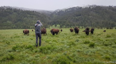 Joshua directing inquisitive yearling bison