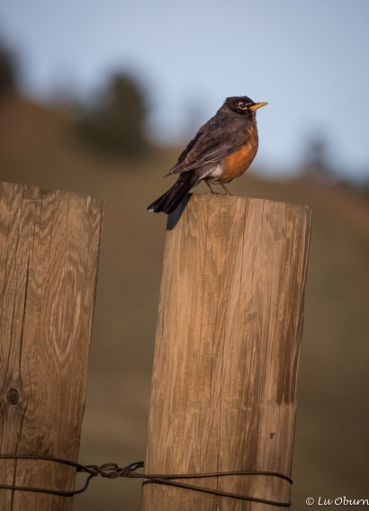 One of the robins who greeted us daily with her melodic song