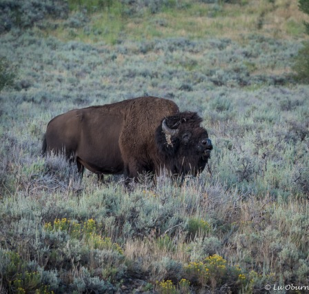 A bull bison readying himself for the rut