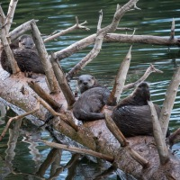 River Otters of Yellowstone ~ Yellowstone Forever Field Seminar Series