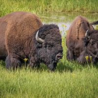 The Bison of Yellowstone ~ Yellowstone Forever Field Seminar Series, Part 2
