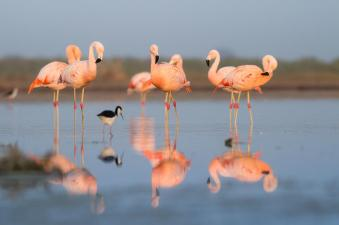 Chilean Flamingo (photo credit: Jorge Schlemmer photography)