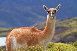 Guanaco (photo credit: farsouthexpeditions.com)