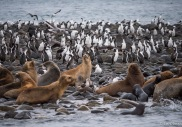 Imperial cormorants live among the sea lions.