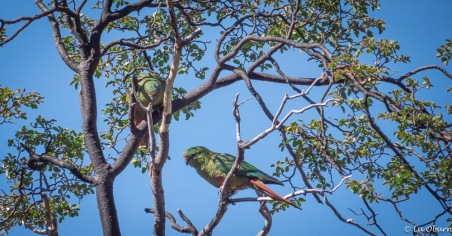 Very difficult to capture as they flit through the tree canopy - Austral conure (emerald parakeet).