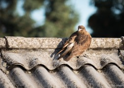Caracara falcon spotted on a rooftop across from our hotel.