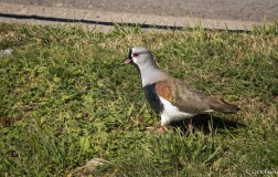 Southern lapwing, common, but tough to photograph.