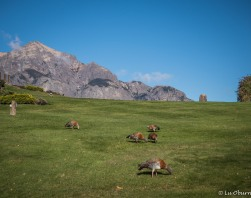 Ashy-headed geese on the Llao Llao Hotel grounds.