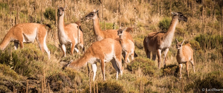 My first guanaco sighting!