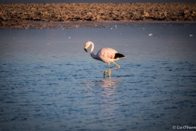 Andean flamingo - note the yellow legs and black-tipped wings