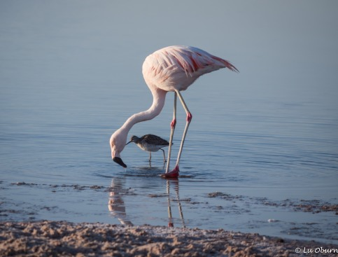 Chilean flamingo feeding