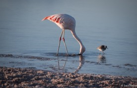 Chilean flamingo spinning in circles with a Puna plover waiting nearby for a little snack.