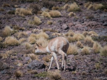 Baby vicuña, who will stay with mom for the first year.