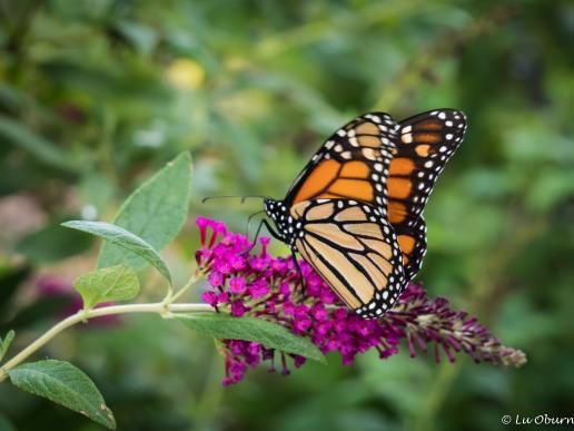 The museum grounds are an official way-station for migrating monarch butterflies.